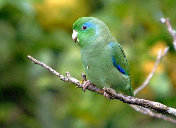 горобиний папуга