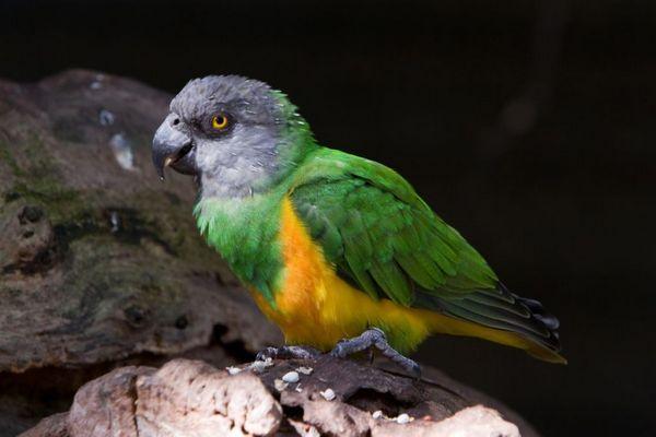 сенегальський папуга