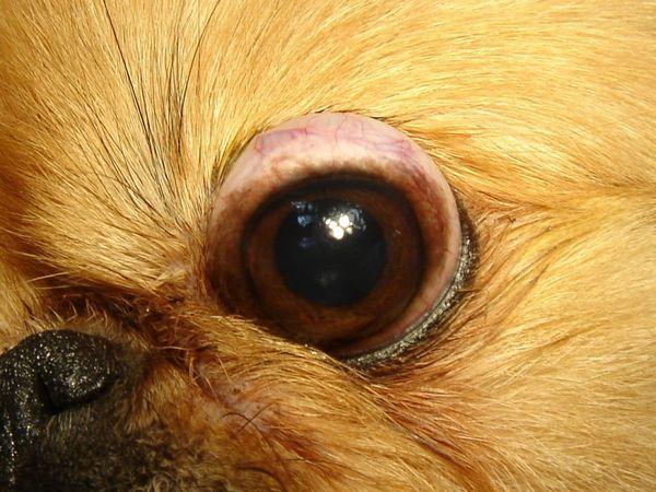 11 порід собак, у яких випадають очі
