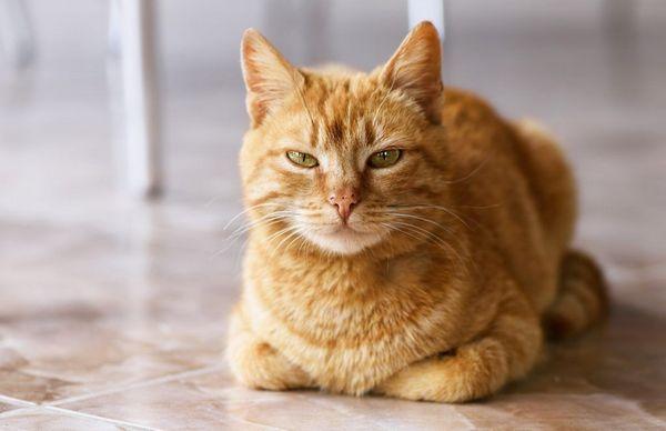 11 Najobľúbenejších plemien zázvorových mačiek