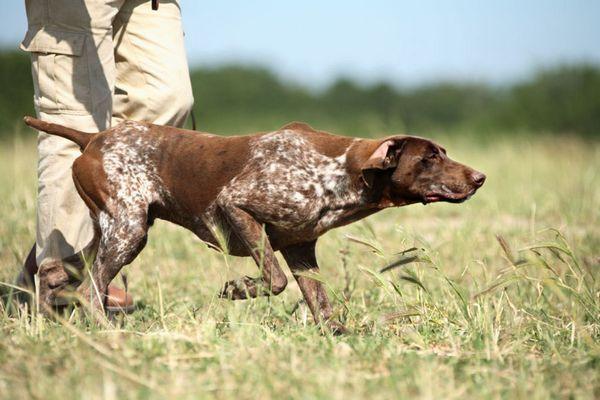 12 Najlepších plemien poľovníckych psov