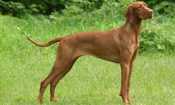 12 кращих порід лягавих собак