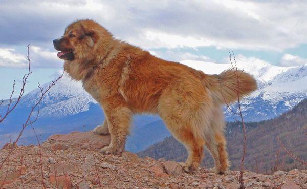 12 Najlepších plemien strážnych psov