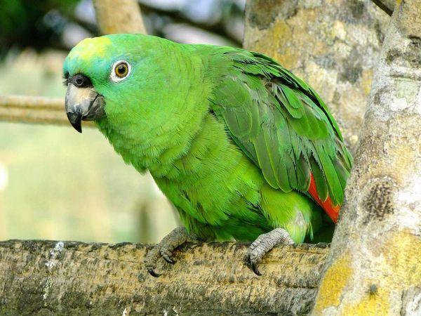 Амазони визнані кращими звукоподражателямі серед американських папуг