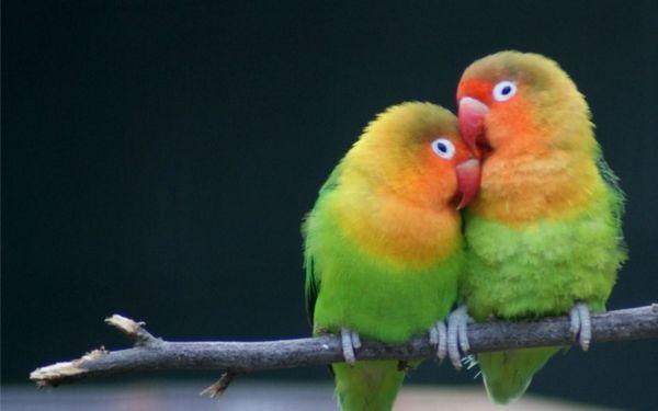 Нерозлучники - одні з найбільш вірних папуг