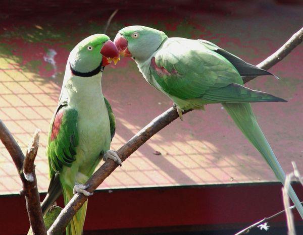 Ожереловий (індійський кільчастий) папуга