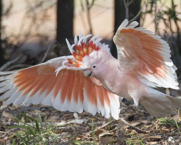 Какаду інка - найкрасивіший серед побратимів какаду
