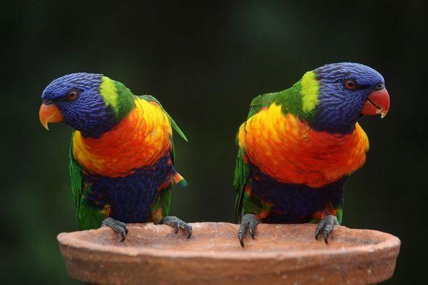 Багатобарвний (райдужний) лорикет