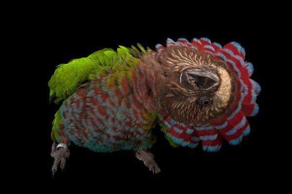 Віяловий папуга - це назва отримав через свого прекрасного розкішного коміра