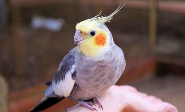 Папуга Кореллі дуже любить спілкування