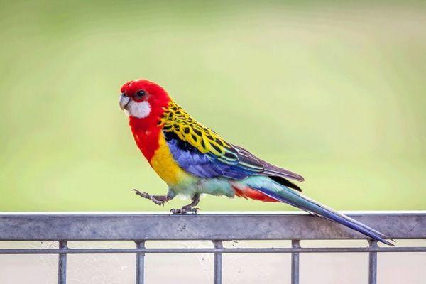 При правильному навчанні папуги здатні наспівувати пісеньки