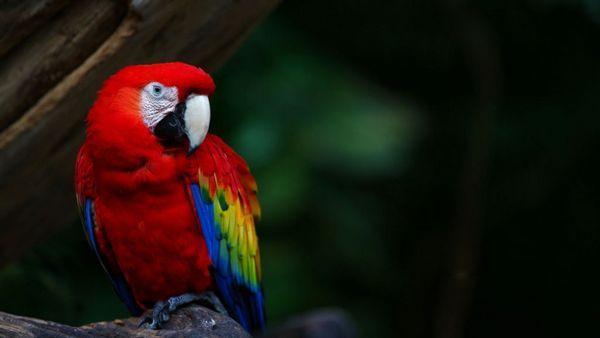 Ара - самі рослі, галасливі і чудово забарвлені папуги