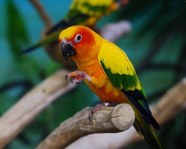 Аратінга (Aratinga) - це неймовірно весела, позитивна і доброзичлива пташка