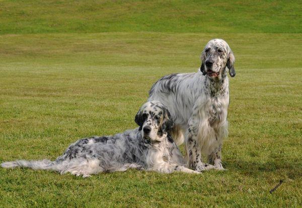 Англійські породи собак