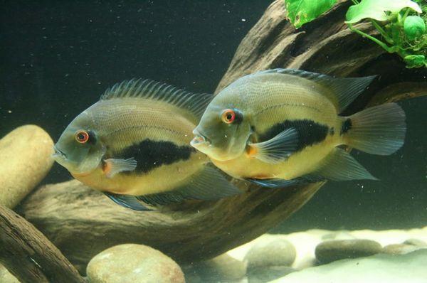 рибка Уару