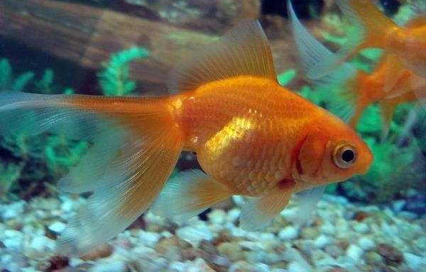 золота рибка