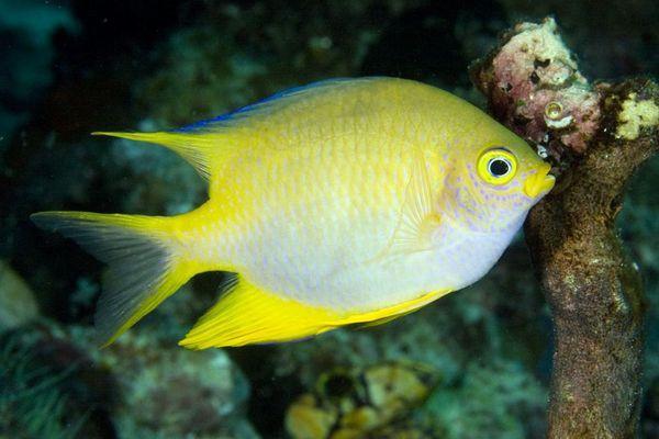 Амблігліфідодон лимонний