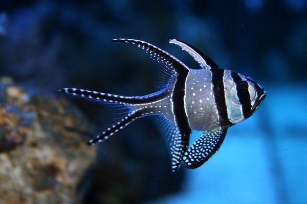 Рибка кардинал - представник коропових