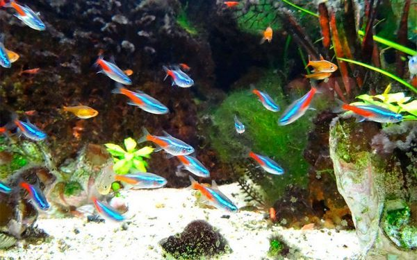 Рибки не створюють шуму і позитивно впливають на емоційний стан людини