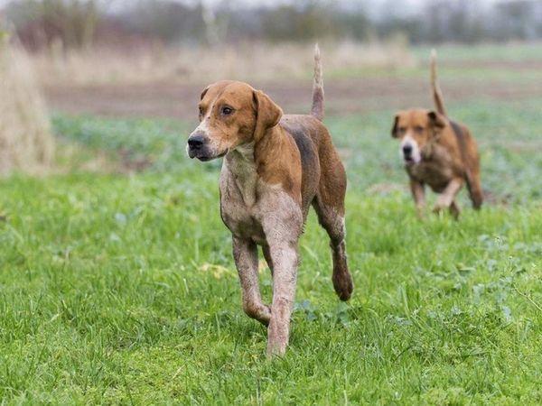 Породи гончих собак