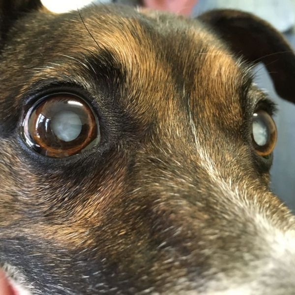 Разввітіе катаракти у собаки
