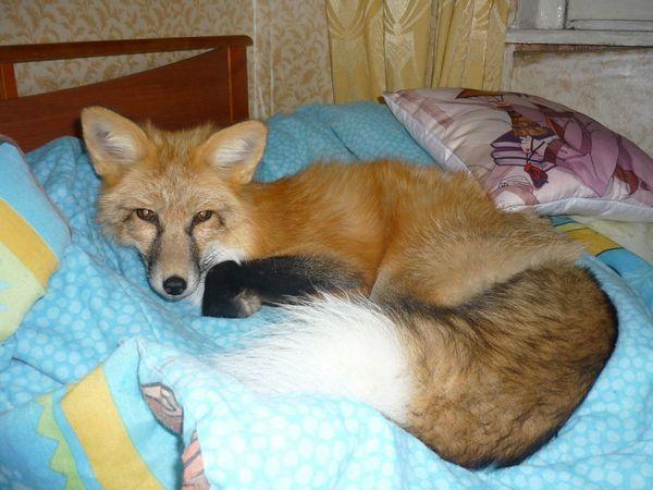 Для лисиці необхідно створити додаткові умови проживання