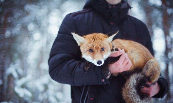 Вичісують лисиць тільки в період линьки