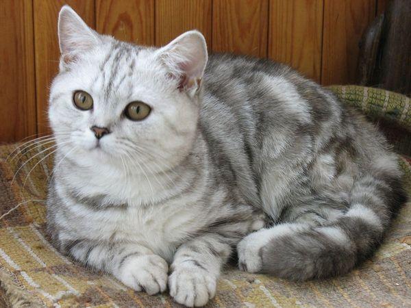 20 Plemien domácich mačiek