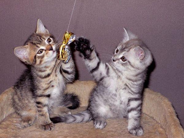 У природі не знайдеться двох кішок з однаковим забарвленням таббі