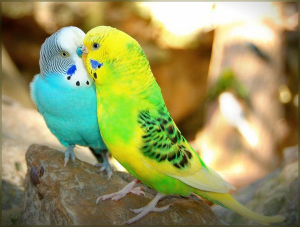 Різновиди хвилястих папужок