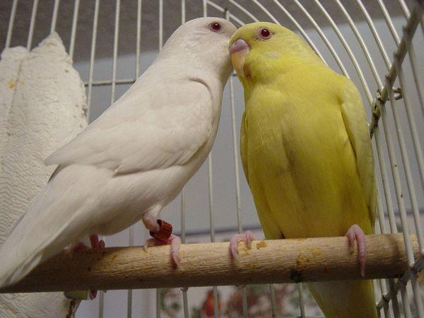 Лютін і альбино Lutino і Albino