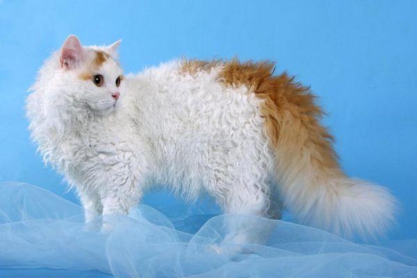 Кішка породи Богемський рекс
