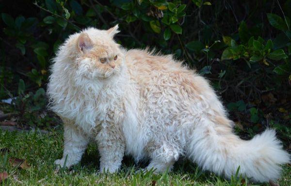 Кішка Селкірк рекс