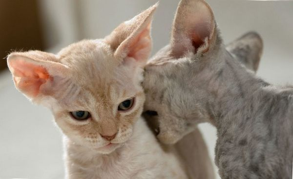 Кошенята кучерявого Девон-рекса