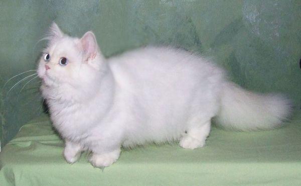 Коротколапих кішка Наполеон
