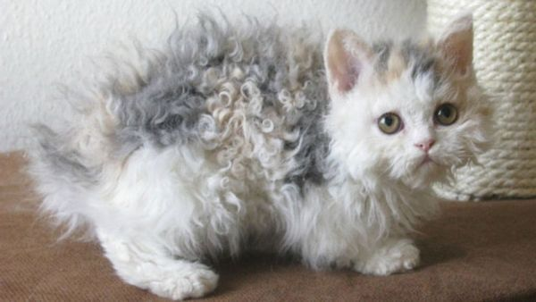 Кішка породи Лемкін