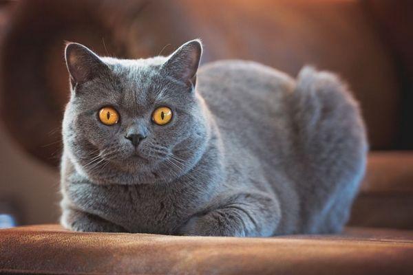Британська короткошерста кішка