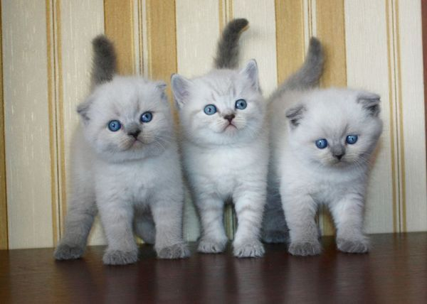Шотландські кошенята окраса блю-пойнт