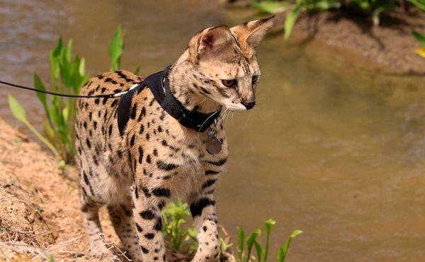 Кішка породи Саванна