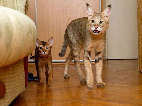 Кішка і кошеня породи Чаузі