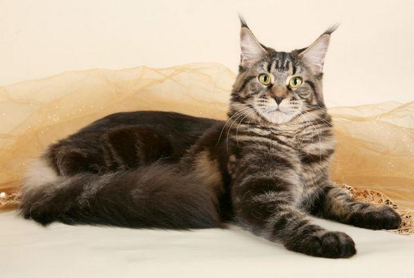 Кішка породи Мейн-кун