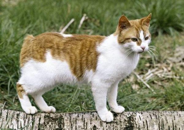Менська кіт