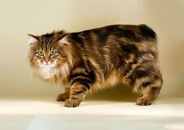Кішка породи Карельський бобтейл