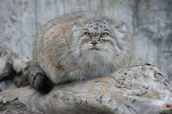 24 породи диви котки и местообитанието им