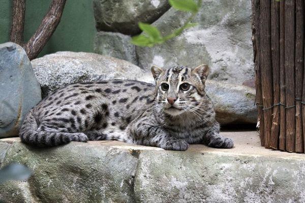 Котка-риболовка, или многократна котка, или циверна котка (лат. Prionailurus viverrinus)