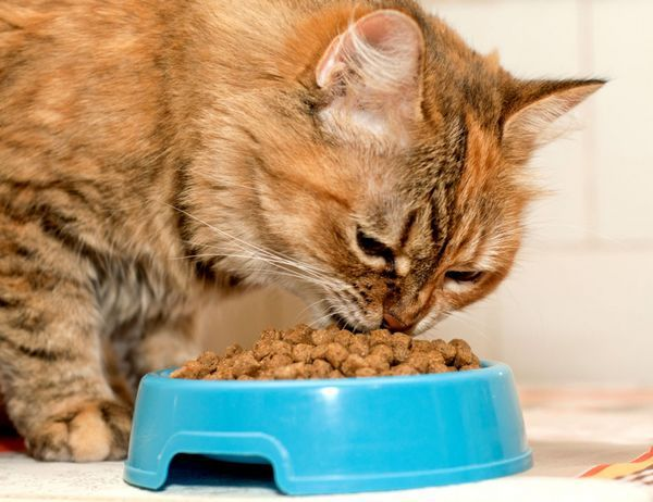 Кот ест корм для виведення шерсті