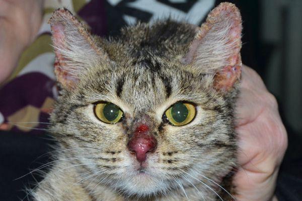 3 typy dermatitídy u mačiek a domáca liečba