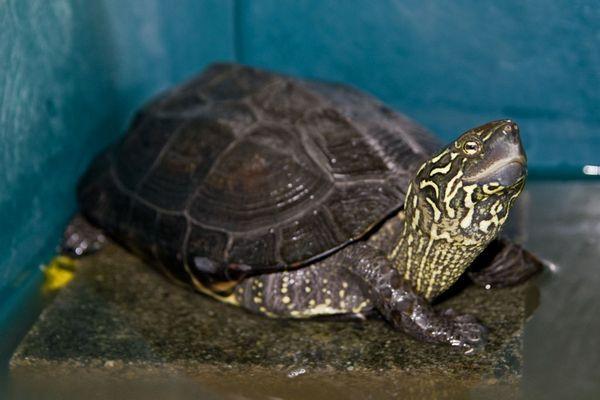 Čínska korytnačka s tromi kýlmi