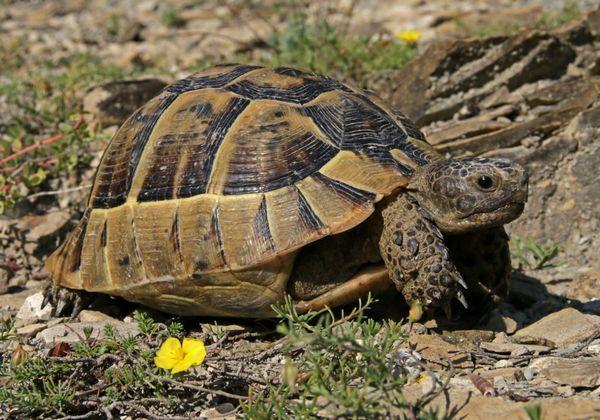Stredomorská korytnačka