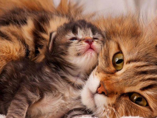 Дорослі кішки і котенята народу не менше схильні до різних хвороб